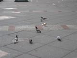 NY 路上の鳩