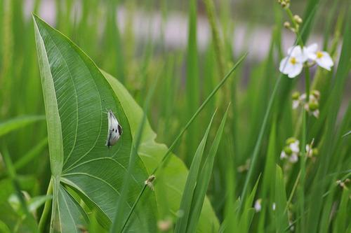 クワイの葉とモンシロチョウの交尾