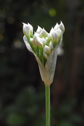 ニラのほぐれかけの花序