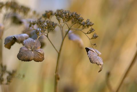 ベニガクの枯れ花
