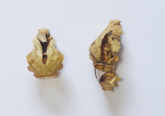 ジャコウアゲハ 羽化後の殻