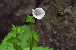 クワガタソウの花と実
