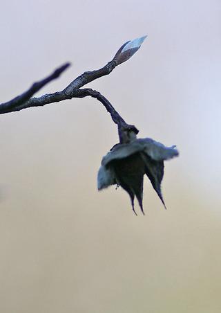 ナツツバキの冬芽と実の殻