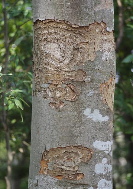 ケヤキの樹皮