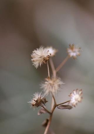 シロヨメナの綿毛