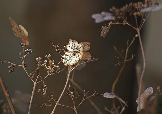 斑入り葉ヤマアジサイ