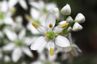 ニラの花、真上から
