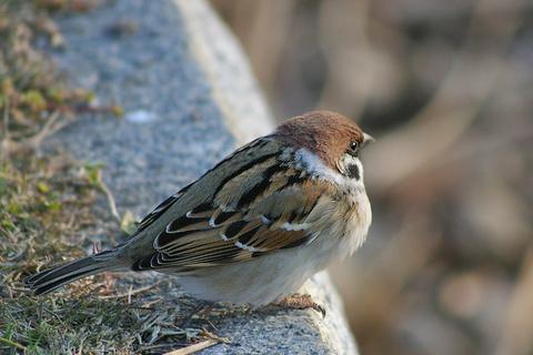 雀の美しい羽模様