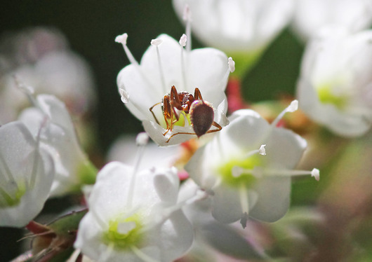 シロバナサクラタデと蟻