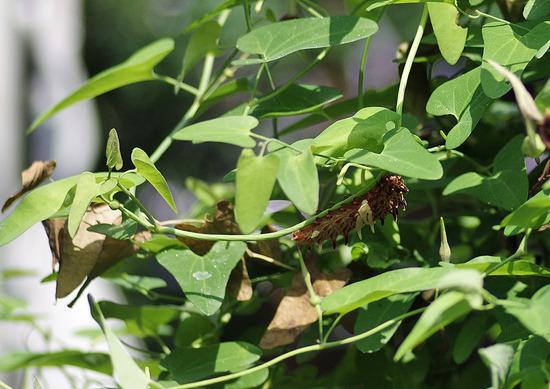 ジャコウアゲハ 枯れ葉と幼虫