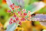 シモツケの花のガク