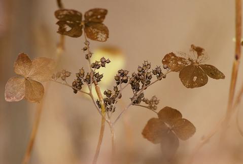紫陽花の枯れ花