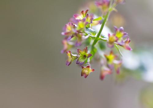 アキチョウジの萼