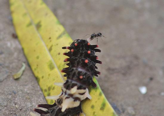 ジャコウアゲハと蟻