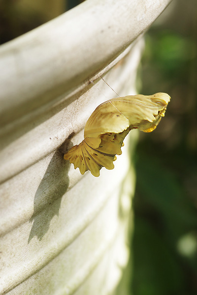 ジャコウアゲハ 蛹