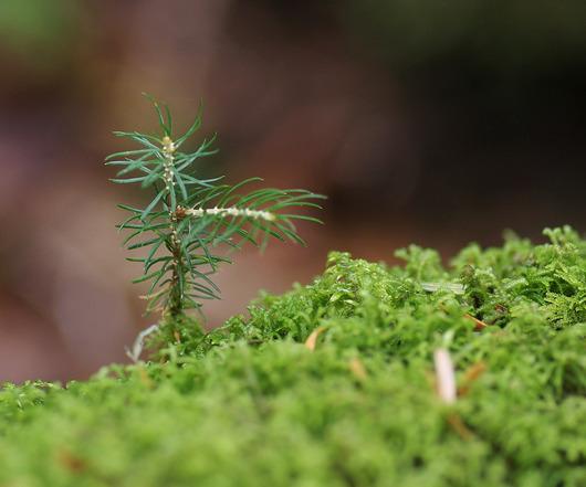 針葉樹の若芽