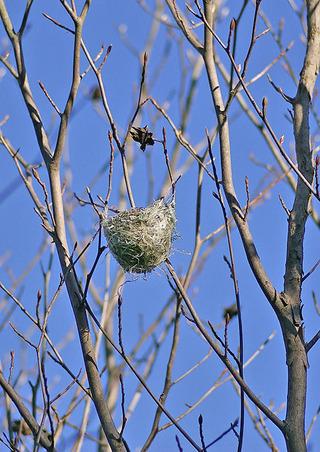 ナツツバキの枝に鳥の巣が!
