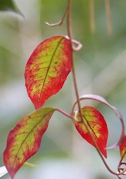 サネカズラの紅葉