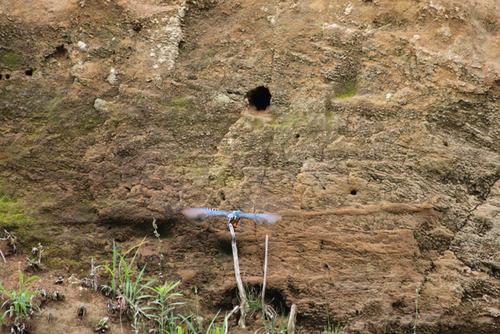 巣穴から飛び出したカワセミ