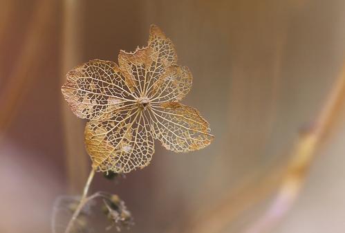 アジサイの枯れ花