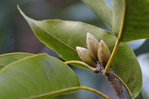 アカガシの冬芽