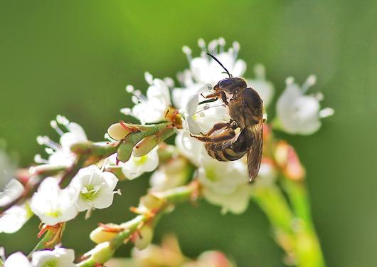 シロバナサクラタデと蜂