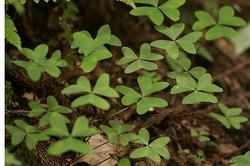 ミヤマカタバミの葉