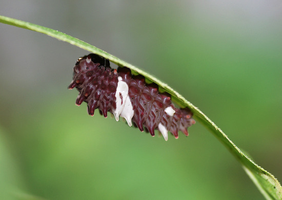 ジャコウアゲハ 幼虫