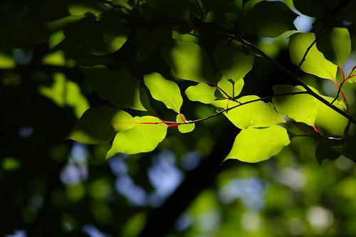 アブラチャンの赤い葉柄