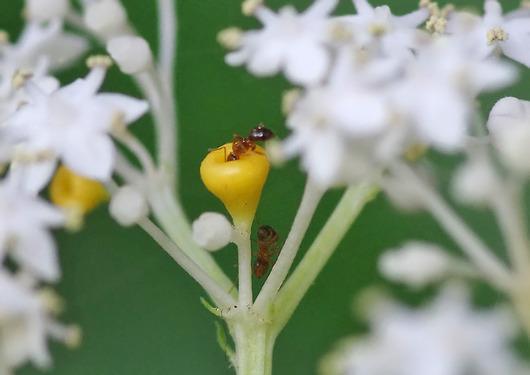 ソクズの蜜腺に集まる蟻