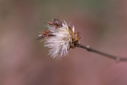コウヤボウキの綿毛