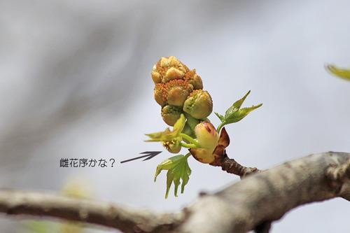 モミジバフウ・花