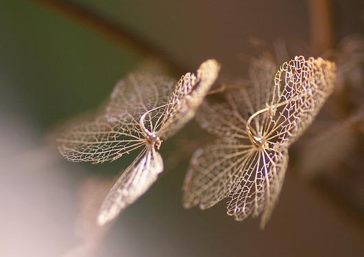 ガクアジサイの装飾花