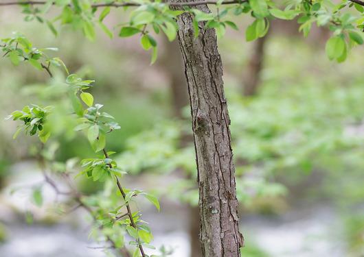 エゾノコリンゴの幹