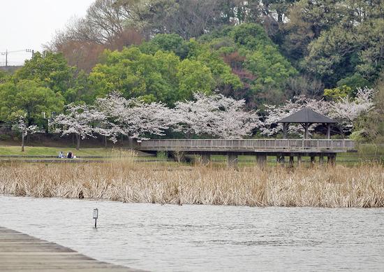 千駄堀の桜
