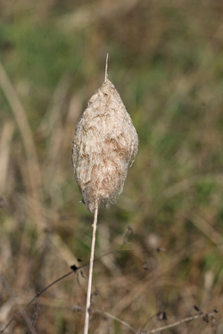ガマの穂綿
