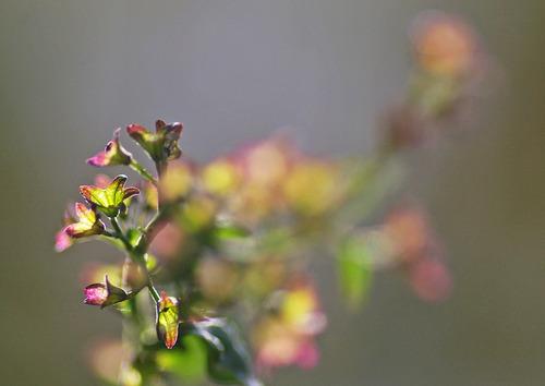 アキチョウジの萼の紅葉