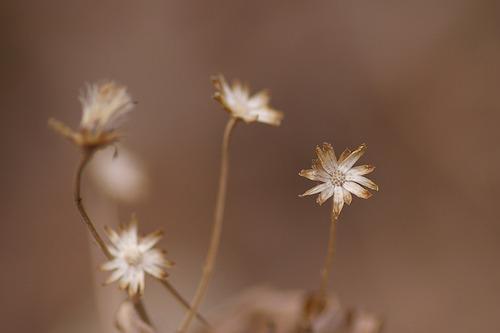 シロヨメナの萼