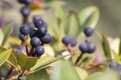 シャリンバイの黒紫の実