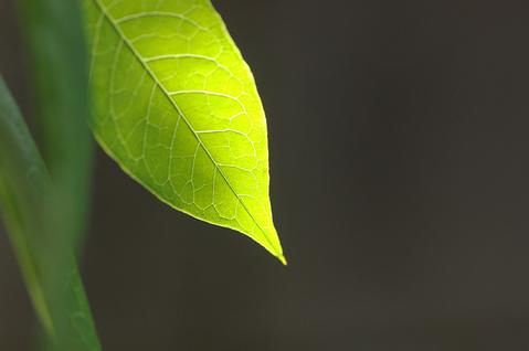 ヨウシュヤマゴボウの葉