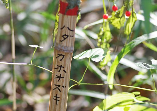 ハダカホオズキIMGP8421