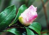 山茶花の蕾