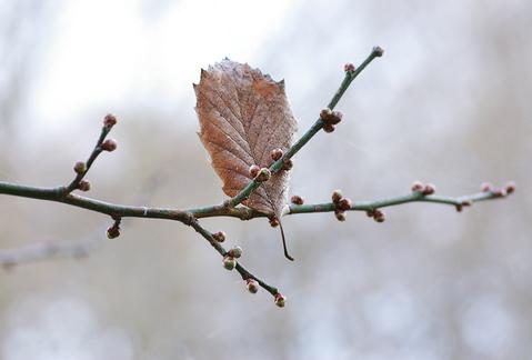 梅の蕾と枯葉