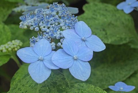 斑入り葉の萼紫陽花