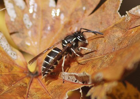 クオロスズメバチ