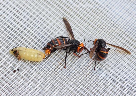 女王蜂 働き蜂 幼虫