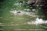 カルガモ水浴び