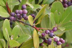 シャリンバイの赤紫の実