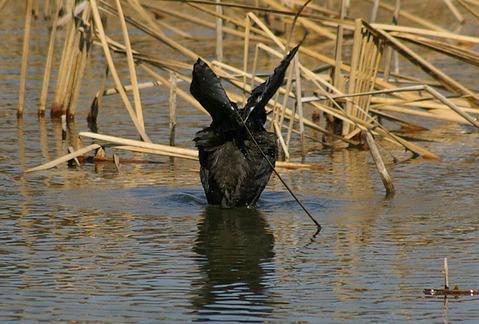 羽ばたきをする後ろ姿のオオバン