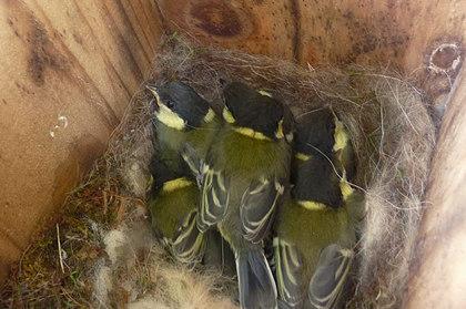 巣箱の中の幼鳥